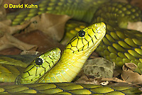 0423-1104  Mating Snakes, Pair of Western Green Mamba (West African Green Mamba) in Copulation, Dendroaspis viridis  © David Kuhn/Dwight Kuhn Photography