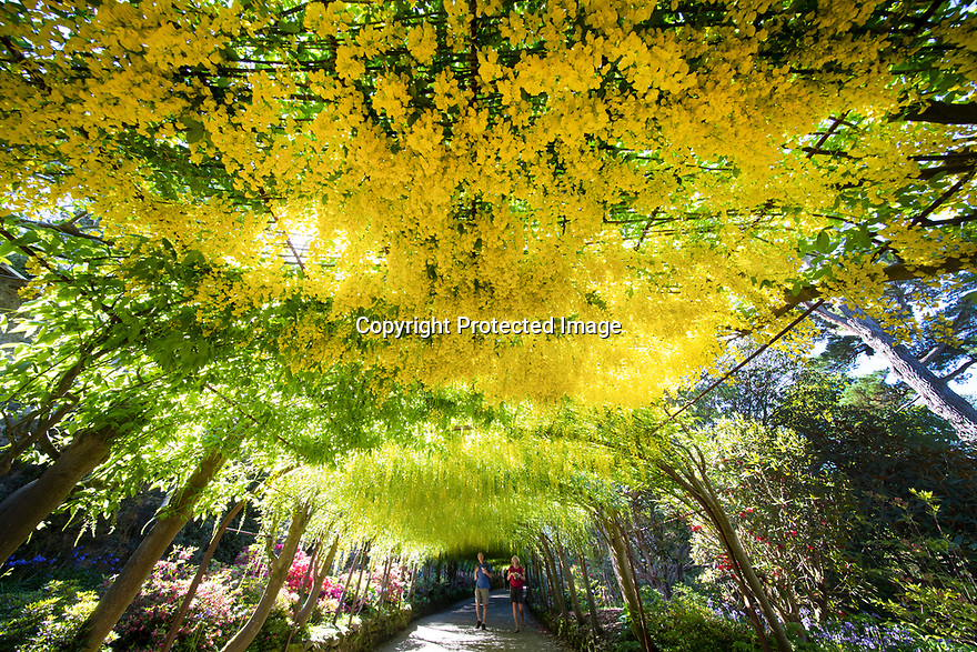 16/05/19<br /> <br /> Chris and Val Merrick admire the Laburnum Arch.<br /> <br /> Mild weather and sunshine has coaxed one of the UK's longest and oldest Laburnum arches, at the National Trust's Bodnant Garden near Conwy, into flower two weeks earlier than normal. Planted in 1880, the arch is the most visited, photographed, Facebooked and 'selfied' feature of the garden, with around 50,000 visitors during its three-week flowering season.<br /> <br /> All Rights Reserved, F Stop Press Ltd +44 (0)7765 242650  www.fstoppress.com rod@fstoppress.com