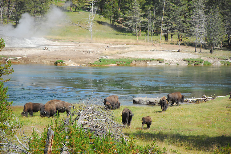 Bison/Buffalo in Hayden Valley of Yellowstone National Park