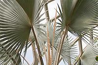 Bismark Palm (Bismarckia nobilis) fan shape foliage leaf in Tropical Conservatory at Denver Botanic Garden