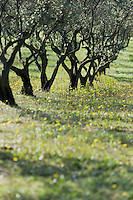 Europe/Provence-Alpes-Côte d'Azur/83/Var/Iles d'Hyères/Ile de Porquerolles:  Oliviers des  vergers-conservatoires  du Conservatoire botanique national méditerranéen de Porquerolles, plus de 110 variétés d'oliviers, sur l'île de Porquerolles