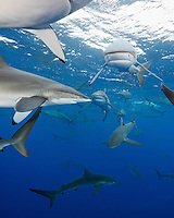 RM0950-D. Silky Sharks (Carcharhinus falciformis), dozens gathered together to feed on small fish in baitball. Baja, Mexico, Pacific Ocean. <br /> Photo Copyright &copy; Brandon Cole. All rights reserved worldwide.  www.brandoncole.com