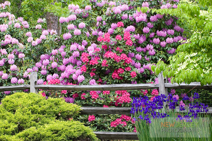Blooming Rododendrum Garden, Medford, New Jersey