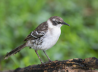Mockingbirds are commonly seen in the Galapagos.
