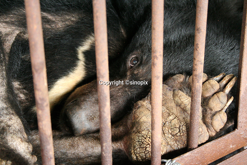 """Bear named """"Chengdu Truth"""" was rescued in Chengdu, Sichuan, China conducted by Animals Asia Foundation. Chengdu Truth was dead finally. The foundation rescued 28 """"moon"""" bears from horrendous bea-bile farms in the area. Animals Asia is run and founded by UK national Jill Robinson, M.B.E."""