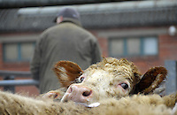 Cattle waiting to go into the sale ring at Welshpool cattle market.