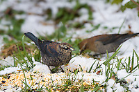 01607-00206 Rusty Blackbirds (Euphagus carolinus) feeding in winter Marion Co. IL