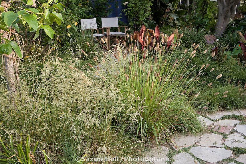 Meadow grasses, Deschampsia cespitosa 'David's Choice' with Pennisteum messiacum flowering in Southern California naturalistic backyard garden