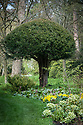 Clipped standard yew tree, Hinton Ampner, Hampshire, late April.