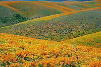 California poppies and California coreopsis<br />