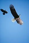A bald eagle harassed by a crow, Alaska