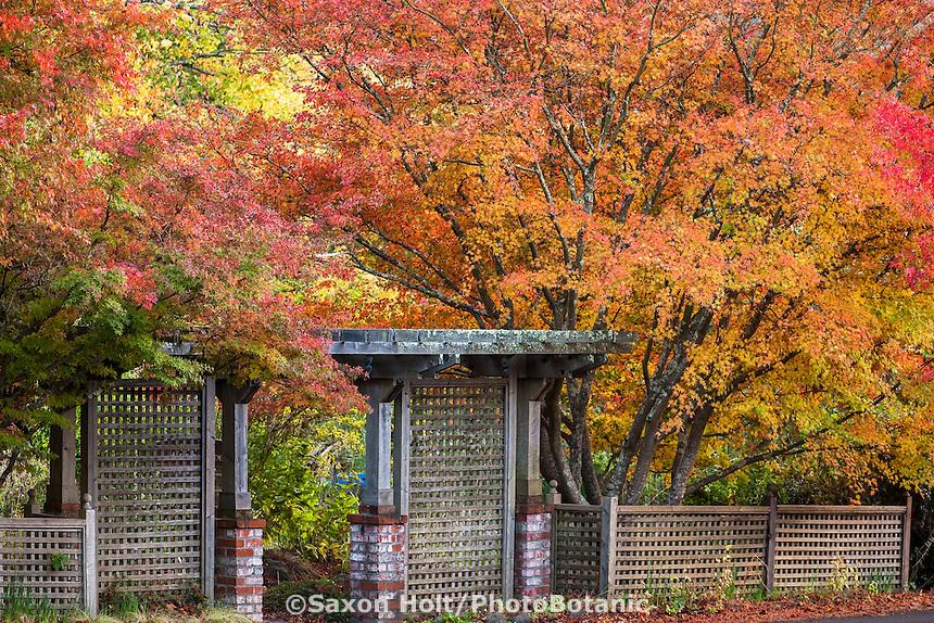 Japanese maple (Acer palmatum)  in autumn by lattice entry gate Marin Art & Garden Center