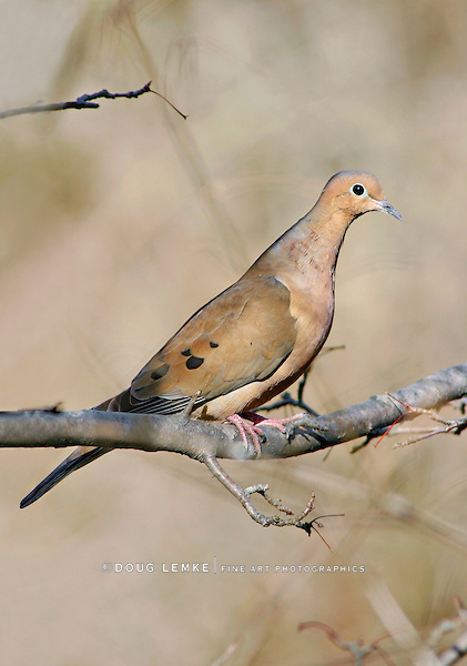 Mourning Dove, Zenaida macroura, Posing Nicely