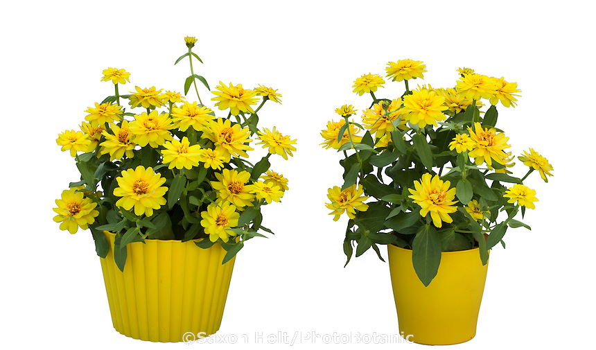 Zinnia Profusion Double Yellow, annual flower from Sakata Seeds