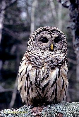 OW01-031z   Barred Owl - Strix varia