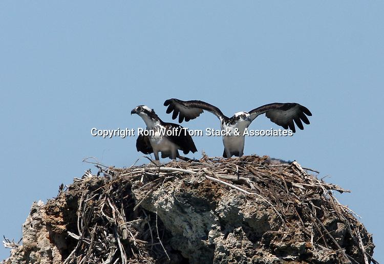 Osprey (Pandion haliaetus). Mating pair at their nest on a tufa tower. South Tufa Area. Mono Lake Tufa State Reserve. Mono Co., Calif.