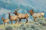 Elk at Dawn, Lower Mammoth, Yellowstone National Park, Wyoming
