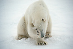 A polar bear rubs its head with its paw.