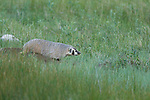 badger, (Taxidea taxus), summer, July, evening, Rocky Mountain National Park, Colorado, USA, wildlife, carnivore, mammal
