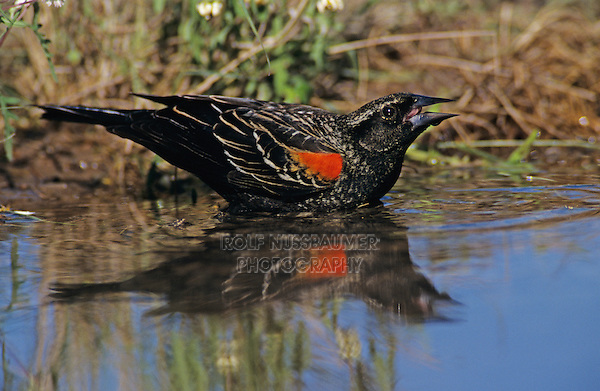 Red-winged Blackbird, Agelaius phoeniceus,male drinking, Lake Corpus Christi, Texas, USA