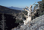 Bristlecone pine trees near Wheeler Peak