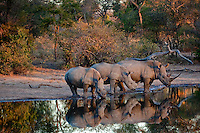 Rhinos line up for an early evening drink at the local water source.