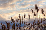 Phragmites at Deer Island, Newburyport, Massachusetts, USA