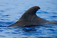 short-finned pilot whale, female or juvenile dorsal fin, Globicephala macrorhynchus, Kona Coast, Big Island, Hawaii, USA, Pacific Ocean