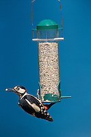 Buntspecht, Männchen an der Vogelfütterung, Futtersilo, Bunt-Specht, Specht, Spechte, Dendrocopos major, Great Spotted Woodpecker, male, Woodpeckers. Pic épeiche. Ganzjahresfütterung, Vögel füttern im ganzen Jahr, Vogelfutter