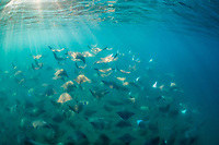 large school of Munk's Devil Rays, mobula munkiana, Cabo San Lucus, Baja California, Sea of Cortez, Baja California, Gulf of California, Mexico, Pacific Ocean
