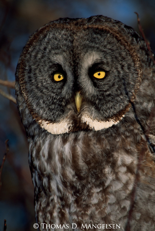 Portrait of a Great Gray Owl.
