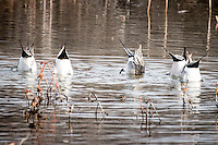 Pintail ducks at Bosque del Apache National Wildlife Refuge in New Mexico.