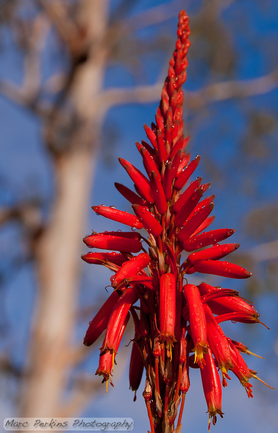 An aloe inflorescence framed by a Eucalyptus.
