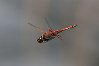 Carolina Saddlebags (Tramea carolina) Dragonfly - Male in flight, Gordonia-Alatamaha State Park, Reidsville, Georgia