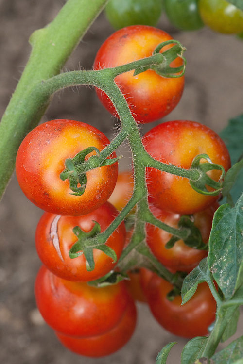 Sometimes tomatoes fail to ripen evenly. Either irregular blotchy patches remain hard or the entire stalk end or shoulder of the tomato stays yellow or green – a disorder known as tomato greenback. The cause is a combination of too much heat and light plus potassium deficiency. If it's very hot or the soil has dried out, it reduces the plant's ability to absorb nutrients.