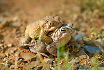 Toads mating, Lycoming County, PA