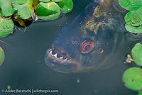 Amazonian Fish and Fishing