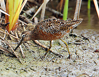 Long-billed dowitcher nearing full breeding plumage in April