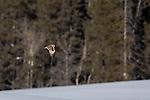Short-eared owl (Asio flammeus), Canada