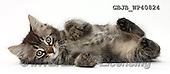 Kim, ANIMALS, REALISTISCHE TIERE, ANIMALES REALISTICOS, fondless, photos,+Tabby kitten, Squidge, 10 weeks old, lying on his side,++++,GBJBWP40824,#a#