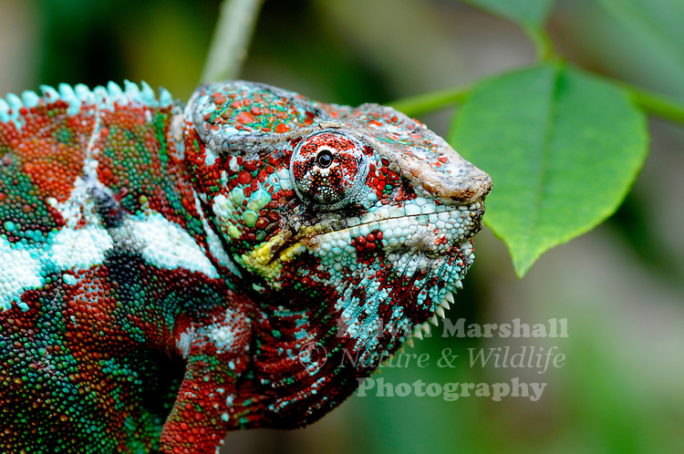 The Panther Chameleon (Furcifer pardalis) is a species from the island of Madagascar. Across its natural range in Madagascar, male Panther Chameleons show extremely variable coloration at different locations. While geographical color morphs are fairly common among chameleon species, the Panther chameleon provides one of the best examples of this phenomenon. Numerous different color morphs exist among Panther chameleon populations at different locations (commonly referred to as locales) in Madagascar, and more are being described all the time. These locale names (named after the nearest town in the area where the morph is found) are used to describe the coloration and pattern of Panther chameleons in the local area.