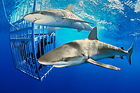 Galapagos shark, Carcharhinus galapagensis, and divers observing from cage, North Shore, Oahu, Hawaii, USA, Pacific Ocean