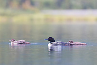 Common loon and chicks swim in Wonder Lake, Denali National Park, Alaska