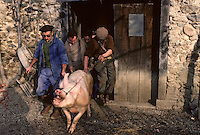 Europe/France/Midi-Pyrénées/09/Ariège/Vallée de l'Ariège/Serres-sur-Arget: Mort du cochon<br /> PHOTO D'ARCHIVES // ARCHIVAL IMAGES<br /> FRANCE 1980