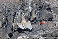Night heron and Sally lightfoot crab, James Bay, Stantiago Island, Galapagos Islands, Ecuador.