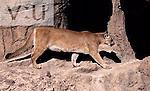 A Mountain Lion: adult. (Felis concolor) Arkansas