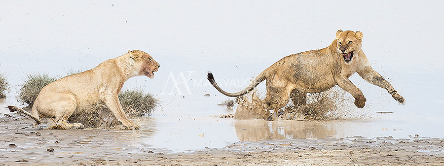 One of the highlights of the trip occurred when a pride of lions faced off against an interloper. They chased her into the water, where things ultimately ended in a standoff.
