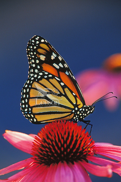 Monarch Butterfly (Danaus plexippus) on purple coneflower.  U.S.A.  Summer.
