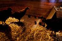Wellsville, Kansas, May 28, 2011 - Chickens are raised for eggs and butchering by fourth generation family farmer Robin Dunn at her farm, Dunn's Landing. She bought her great grandparents homestead from her father in 1993, and today grows soybeans, corn, sorghum and hay, and maintains a small herd of Black Angus cattle and eight horses which she uses to for wagon and stage coach rides.  According to the most recent Department of Agriculture data, there are more than 306,000 farms run primarily by women in 2007, representing about 14 percent out of the 3.3 million American farms.  That's up from 237,819 or 11 percent in 2002, and a big increase from the 1980s when about five percent of U.S. farms were operated by women.Dunn has branched out from her farming business, using her century-old dairy barn to host 25 to 30 weddings and other events a year. She also attracts tourists for farm tours and carriage rides, and holds sessions with school children to teach them about faming.