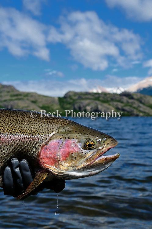 Spring Creek Wild Rainbow